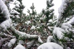 Οι κλάδοι των ερυθρελατών στο χιόνι Στοκ Φωτογραφία