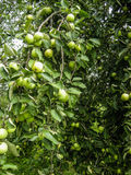 Οι κλάδοι των φρούτων της Apple Στοκ Εικόνα