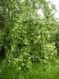 Οι κλάδοι των φρούτων της Apple Στοκ Φωτογραφία
