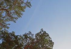 Οι κλάδοι φθινοπώρου πεύκων ήλιων αέρα άνοιξης βελόνων πεύκων τοπίων κωνοφόρων καλύπτουν το πράσινο μπλε δάσος δέντρων φύλλων φύσ στοκ εικόνα