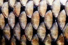 Οι κλίμακες ψαριών ξεφλουδίζουν τη μακρο άποψη Χρυσό φολιδωτό κατασκευασμένο σχέδιο κυπρίνων φωτογραφιών μεγάλο Εκλεκτική εστίαση Στοκ φωτογραφία με δικαίωμα ελεύθερης χρήσης
