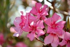 Οι λεπτομέρειες του άγριου oleander οδοντώνουν τα λουλούδια και τα πράσινα φύλλα Στοκ Φωτογραφία