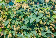 Οι λυκίσκοι το lupulus Humulus με τους πράσινους και κίτρινους και καφετιούς κώνους και τα πράσινα φύλλα στοκ φωτογραφίες με δικαίωμα ελεύθερης χρήσης