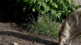 Οι λύκοι περπατούν στο ζωολογικό κήπο απόθεμα βίντεο
