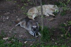 Οι λύκοι που παίρνουν ένα σπάσιμο μετά από κυνηγούν όλη τη νύχτα στοκ εικόνα με δικαίωμα ελεύθερης χρήσης