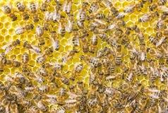 Οι μέλισσες είναι καλά artisans Τα κύτταρα που δημιουργούν έχουν την ίδια δεκάρα Στοκ Φωτογραφίες
