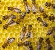 Οι μέλισσες είναι καλά artisans Τα κύτταρα που δημιουργούν έχουν την ίδια δεκάρα Στοκ εικόνα με δικαίωμα ελεύθερης χρήσης