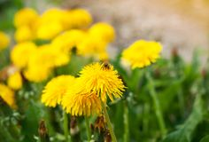 Οι μέλισσες επικονιάζουν τα λουλούδια πικραλίδων Ένα λιβάδι με τις κίτρινες πικραλίδες την άνοιξη στοκ φωτογραφία