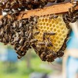 οι μέλισσες εργασίας στα κύτταρα μελιού σε μια κυψέλη στοκ φωτογραφία
