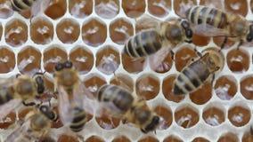 Οι μέλισσες μετατρέπουν το νέκταρ στο μέλι και κλείνουν στη χτένα φιλμ μικρού μήκους