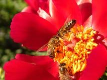 οι μέλισσες ράβδων καθαρίζουν την εργασία νέκταρ πλαισίων Στοκ εικόνα με δικαίωμα ελεύθερης χρήσης