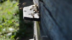 οι μέλισσες ράβδων καθαρίζουν την εργασία νέκταρ πλαισίων απόθεμα βίντεο