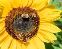 Οι μέλισσες συλλέγουν το νέκταρ από ένα λουλούδι ενός ηλίανθου Στοκ Εικόνες