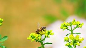 οι μέλισσες συλλέγουν το νέκταρ λουλουδιών απόθεμα βίντεο