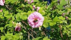 Οι μέλισσες συλλέγουν το νέκταρ στα λουλούδια των τριαντάφυλλων απόθεμα βίντεο