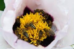 οι μέλισσες συλλέγουν Στοκ εικόνα με δικαίωμα ελεύθερης χρήσης