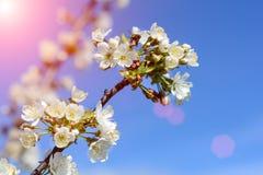 Οι μέλισσες επικονιάζουν τα λουλούδια των δέντρων άνοιξη Μελισσοκομία eps διάνυσμα φυτών εντόμων απεικόνισης jpeg Στοκ Εικόνες