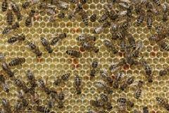Οι μέλισσες μετατρέπουν το νέκταρ στο μέλι Στοκ Εικόνες