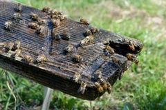Οι μέλισσες πίνουν το νερό Άνοιξη Πόσιμο νερό ζώων Στοκ φωτογραφία με δικαίωμα ελεύθερης χρήσης