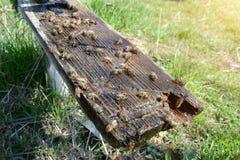 Οι μέλισσες πίνουν το νερό Άνοιξη Πόσιμο νερό ζώων Στοκ Φωτογραφία