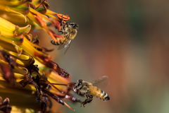οι μέλισσες ράβδων καθαρίζουν την εργασία νέκταρ πλαισίων Στοκ Εικόνες