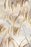 Οι μίσχοι των καλάμων που καλύπτονται με το χιόνι Στοκ Εικόνες