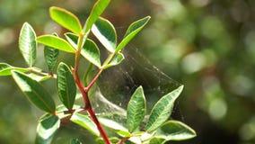 Οι μίσχοι των λουλουδιών καλύπτονται με τον ιστό αράχνης της στρογγυλής μορφής στο πράσινο υπόβαθρο Ιστός αραχνών στενού επάνω μο στοκ εικόνα