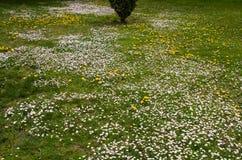 Οι μαργαρίτες καλλιεργούν την άνοιξη Στοκ εικόνα με δικαίωμα ελεύθερης χρήσης