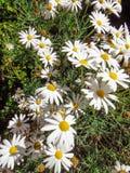 Οι μαργαρίτες συμβολίζουν την αθωότητα και την αγνότητα στη γλώσσα λουλουδιών στοκ εικόνες
