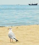 Οι μαυροκέφαλοι γλάροι (ridibundus Chroicocephalus) στην παραλία Στοκ Εικόνα