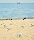 Οι μαυροκέφαλοι γλάροι (ridibundus Chroicocephalus) στην παραλία Στοκ Εικόνες