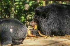 Οι μαύρες αρκούδες τρώνε τις καρύδες στην περιοχή Συντήρηση άγριας φύσης στοκ φωτογραφία