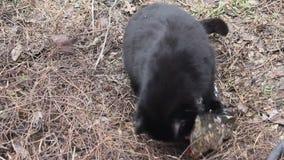 Οι μαύρες γάτες τρώνε τα ψάρια απόθεμα βίντεο