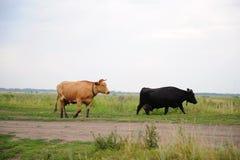 Οι μαύρες και καφετιές αγελάδες περνούν στο δρόμο από τον τομέα Στοκ φωτογραφίες με δικαίωμα ελεύθερης χρήσης