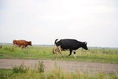 Οι μαύρες και καφετιές αγελάδες περνούν στο δρόμο από τον τομέα Στοκ Φωτογραφία