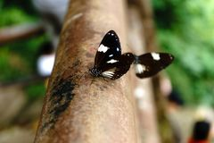 Οι μαύρες πεταλούδες πετούν αυτό είναι φύση σε Nakhon Nayok στοκ εικόνες