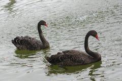 Οι μαύροι κύκνοι ενός ζευγαριού κολυμπούν στη λίμνη Στοκ Φωτογραφία