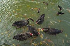 Οι μαύροι κύκνοι κολυμπούν με τα ψάρια koi Στοκ Φωτογραφία