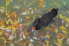 Οι μαύροι κύκνοι κολυμπούν με τα ψάρια koi στοκ φωτογραφίες με δικαίωμα ελεύθερης χρήσης