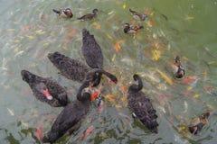 Οι μαύροι κύκνοι κολυμπούν με την πάπια μανταρινιών και τα ψάρια koi στη λίμνη Στοκ φωτογραφία με δικαίωμα ελεύθερης χρήσης