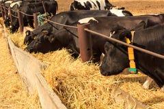 Οι μαύρος-άσπρες γαλακτοφόρες αγελάδες τρώνε το σανό πίσω από το εμπόδιο υπαίθρια Στοκ φωτογραφίες με δικαίωμα ελεύθερης χρήσης