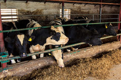 οι μαύρος-άσπρες γαλακτοφόρες αγελάδες τρώνε το σανό πίσω από το εμπόδιο Στοκ Φωτογραφία