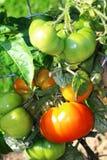 Οι μεγάλες ντομάτες αυξάνονται στο θάμνο Στοκ Φωτογραφία