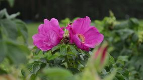 Οι μεγάλες bumblebee μύγες από ένα λουλούδι σε ένα λουλούδι ενός dogrose, συλλέγουν τη γύρη απόθεμα βίντεο
