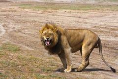 Οι μεγάλοι βρυχηθμοί λιονταριών Αμμώδης σαβάνα Serengeti, Τανζανία στοκ φωτογραφία