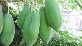 Οι μεγάλοι πράσινοι και ώριμοι καρποί papayas κρεμούν σε ένα δέντρο, papaya φρούτα απόθεμα βίντεο