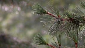 Οι μειωμένοι κλάδοι δέντρων πεύκων χαλαζιού και το ρέοντας πεύκο νερού διακλαδίζονται με τις σταγόνες βροχής 4k απόθεμα βίντεο
