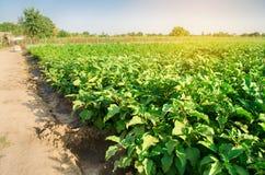 Οι μελιτζάνες αυξάνονται στον τομέα φυτικές σειρές Γεωργία, λαχανικά, οργανικά αγροτικά προϊόντα, αγροβιομηχανία farmlands AUB στοκ φωτογραφία με δικαίωμα ελεύθερης χρήσης