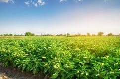 Οι μελιτζάνες αυξάνονται στον τομέα φυτικές σειρές Γεωργία, λαχανικά, οργανικά αγροτικά προϊόντα, αγροβιομηχανία farmlands AUB στοκ εικόνα με δικαίωμα ελεύθερης χρήσης