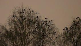 Οι με κουκούλα κόρακες και οι κάργες εγκαθιστούν μέσα για τη νύχτα στα δέντρα φιλμ μικρού μήκους